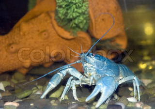 Blue crayfish. The crayfish of blue color - lives in the black sea