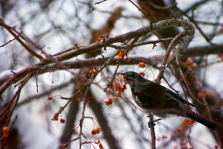 Fruit trees in the city allow migrating birds to feed in winter.