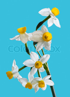 White Spring narcissus Flower Bunch Isolated on blue