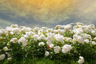 Field of white roses on a background of the gold storm sky