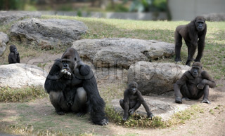 Gorillas in the zoo, big and important.