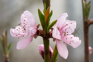 Rose colored flowers and young leaf op peach tree