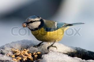 Blåmejse sidde på fødevarer bakken dækket med sne foran frø med en frø i næbbet