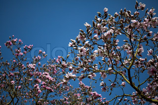blooming white and pink magnolia trees