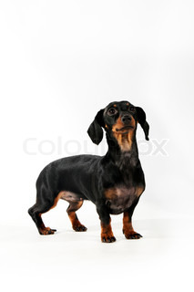 Black and brown  dachshund isolated on a white background