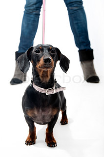 Black and brown dachshund on a leash