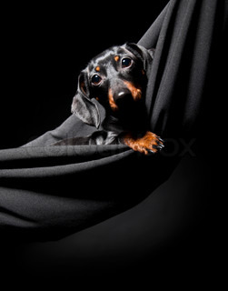 Black and brown dachshund  in a black hammock