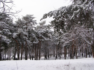 white firs in winter time