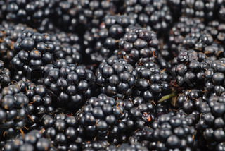 blackberry background, close up berries with selective focus