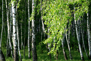 branch of a birch tree with green foliage in a summer forest