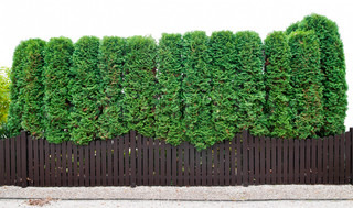 Fragment of a rural fence  hedge from evergreen plants ( the Thuja). Isolated on white.