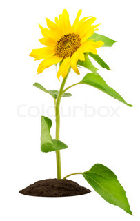 The small sunflower on a bed looks at the sun. Isolated on white.