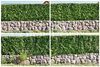 Four fragments of a rural fence  hedge from evergreen plants ( the Thuja)