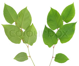 Green plant  leaves pro and contra view. Isolated on white.