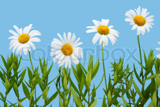 Set of wild camomiles flowers. Isolated on sky cyan