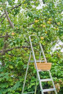 Step-stigen og kurv til høst af æbler og en brombær i en have