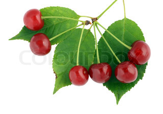 Real cherry leaves and berries macro. Isolated on white.