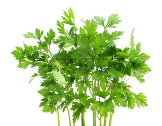 Bunch of fresh green spice- parsley, isolated on white.
