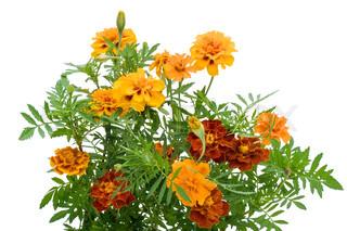 Fransk Marigold Petite Orange (tagetes patula) blomster isoleret på hvidt