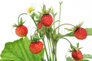 The wood wild strawberry macro. Isolated on white. Selective focus.