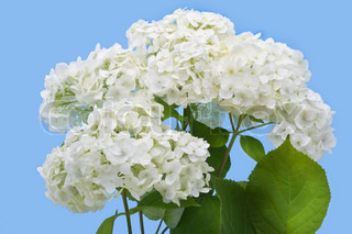 Isolated on cyan flowers of a garden white hydrangea