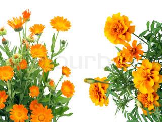 Orange blomster Calendula og franske Marigold postkort isoleret på hvidt