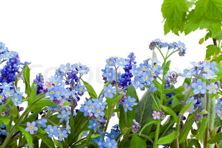 Border, postcard, background  from spring flowers  of forget-me-nots (Myosotis). Isolated on white.