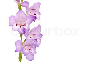 Smuk Gladiolus på hvid baggrund