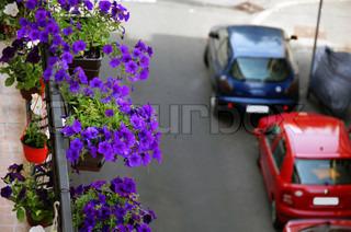 magenta petunier vokser på bygningen balkon over byer gaden