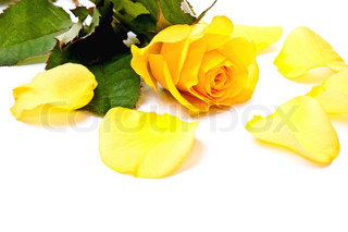 One yellow rose and petals. Isolated on white