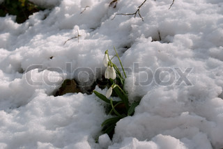 snowdrop among snow in spring forest
