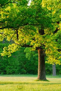 Daggry, den unge blade af egetræer dækkede de første stråler af su