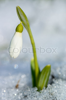første forår sommergæk blomst i en sne