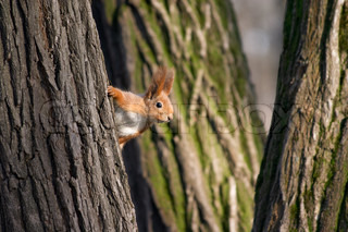 Squirrel playing in hide and seek and looking out from the tree stem