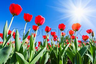 røde tulipaner i morgensolen