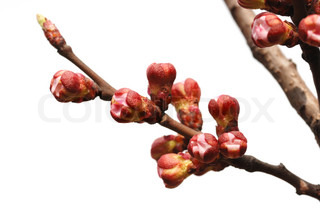 Flowers of fruits of an apricot. Buds of a blossoming tree
