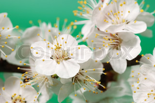 Blossoming branch of a tree. A fruit tree - an apricot, blooming in the early spring