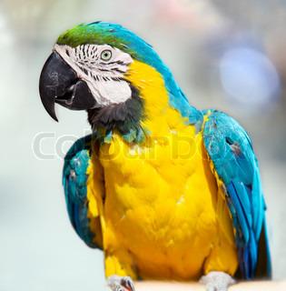 tæt op skudt af ara papegøje, lavvandet DOF, fokus på fugleperspektiv