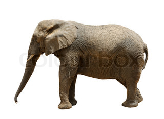 Elephant, largest land animal in the zoo