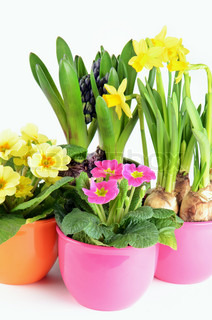Colorful spring hyacinth, narcissus and primula flowers on white background