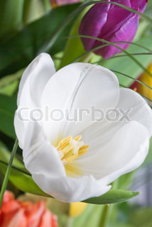 Big white tulip blooms in the garden