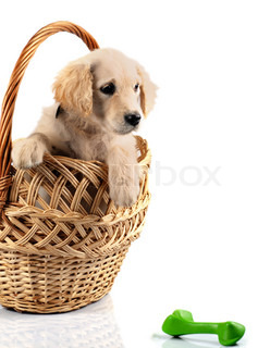 Golden retriever puppy in basket isolated on white background