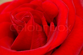 red rose with morning dew on petals