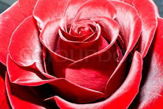 Lush and beautiful red rose, high quality macro