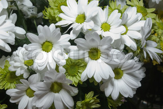 Beautiful white and green chrysanthemum flower