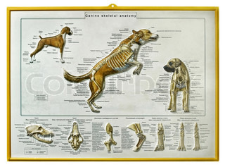 Instructional wall-sheet, the Dog (rus. v)