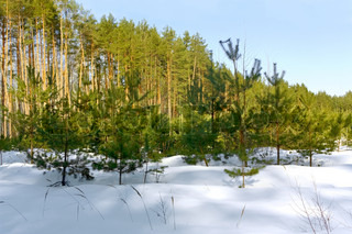 Landscape with winter snow-covered forest. HDR image