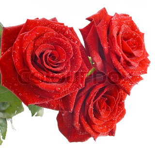 Three red beautiful roses isolated on the white background