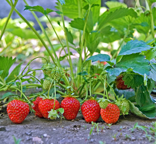 ripe and unripe strawberry on seedbed in garden