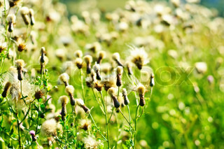 White fluffy flowers on the green meadow background